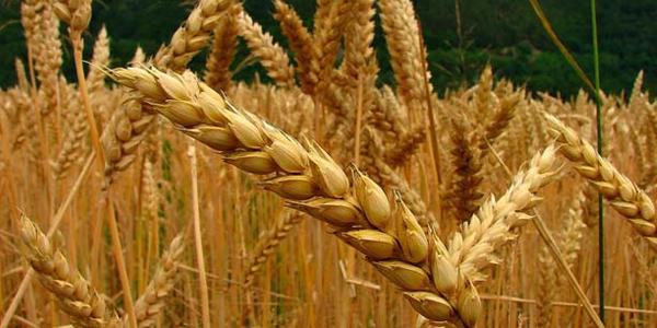 La calidad en cereales de invierno se construye desde el inicio- Por: Ings. Agrs. Carolina Martin y Josefina Omaña