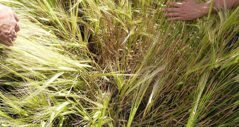 Syngenta. VII Jornada Técnica sobre Cultivo de Cebada 2013
