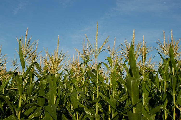 Evaluación de tecnologías y sus interacciones en maíz 2015/16