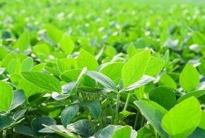 soja potenciada por efecto fertilizante foliar