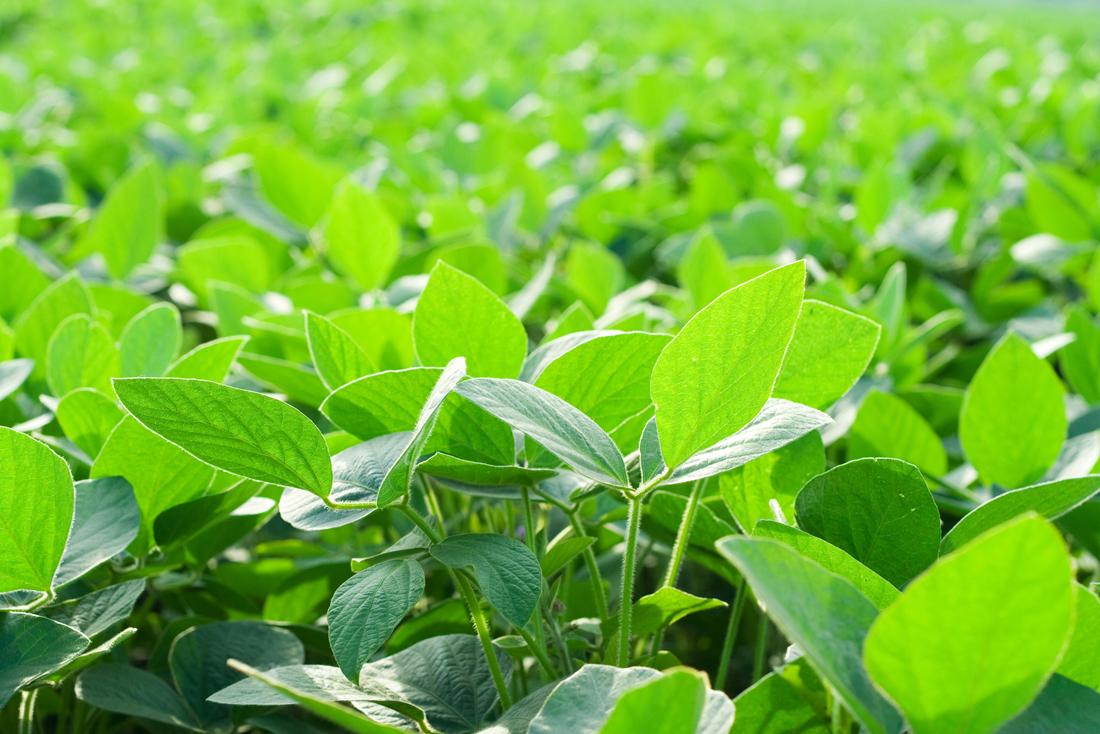 Evaluación de cultivares de SOJA bajo diferentes escenarios de fertilización