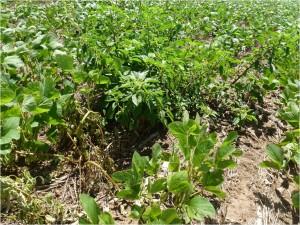Amaranthus Resistente Río IV