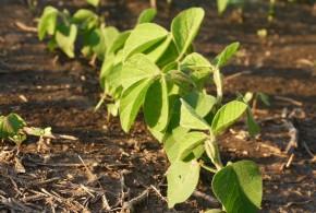 La soja que emerge puede tener deficiencias de manganeso
