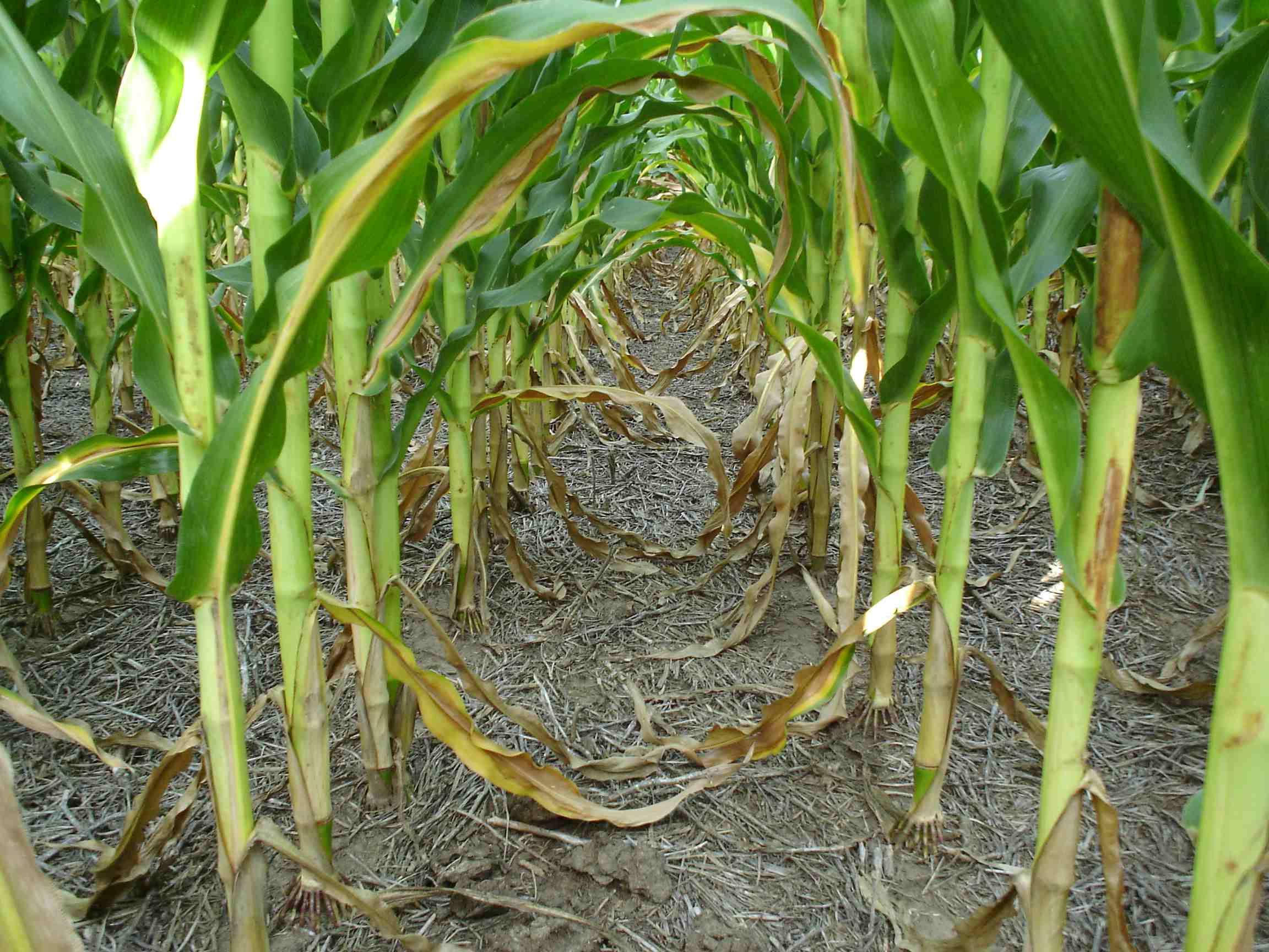 Diferencias y similitudes entre híbridos de maíz para grano y para silaje de planta entera