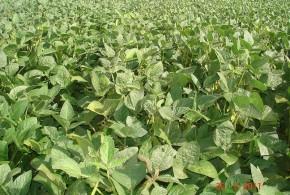 Fertilización en soja