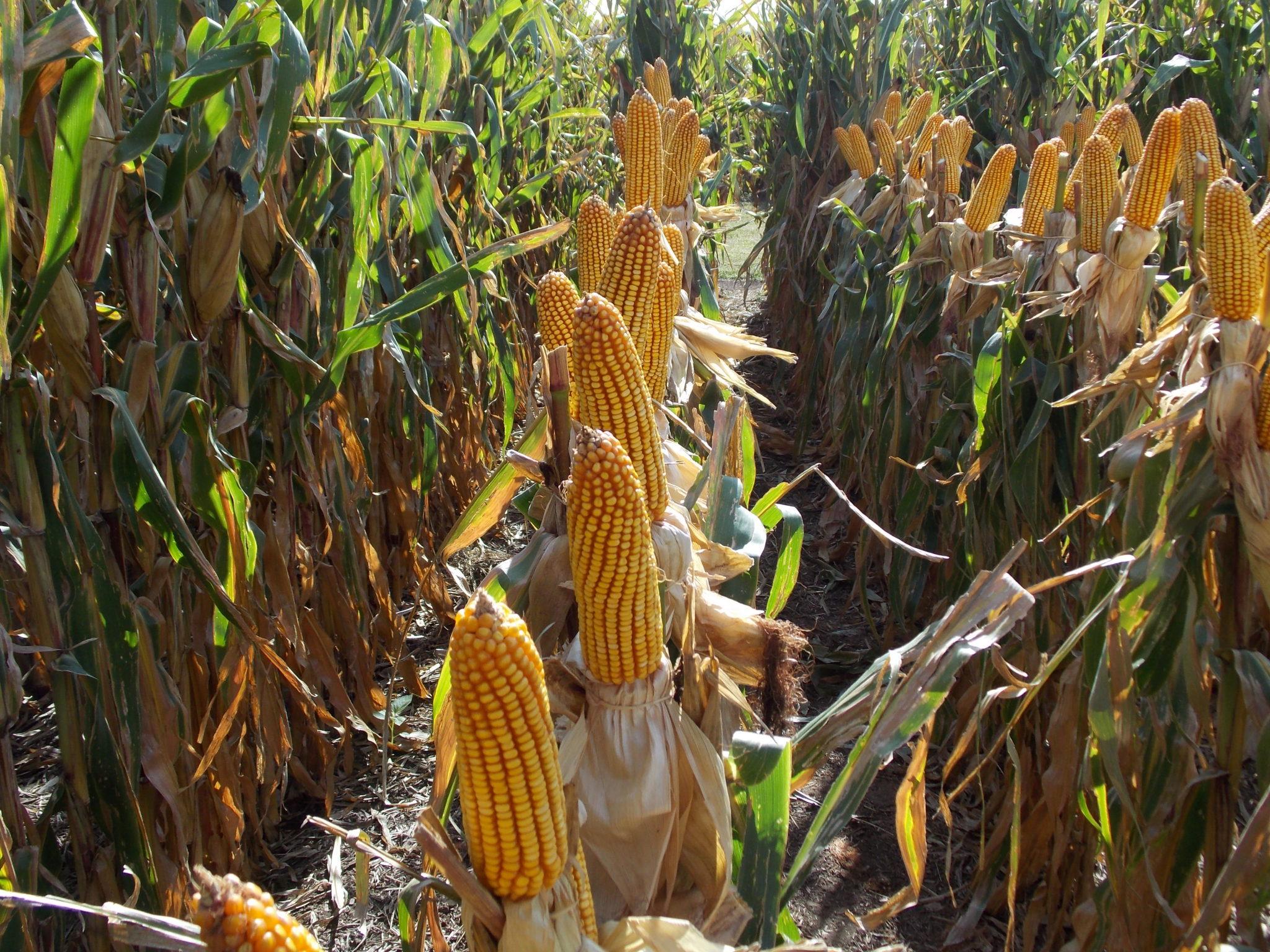 Comportamiento sanitario de híbridos de maíz en el centro norte de Córdoba