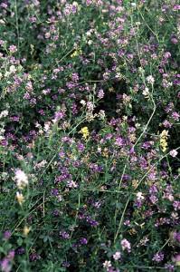 Alfalfa en flor bicolor