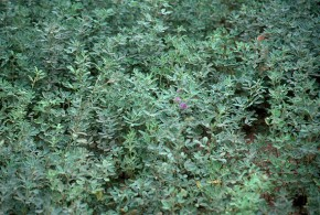 Alfalfa pastisal sin flor