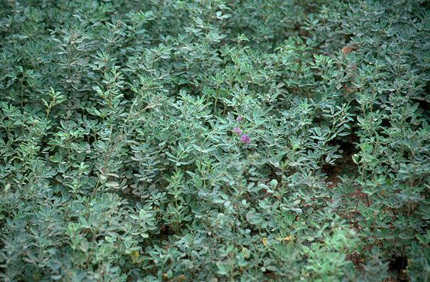 Alfalfa. Un cultivo agrícola