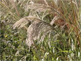 Digitaria insularis (Pasto Amargo)