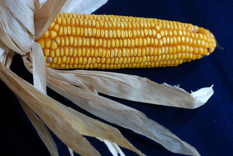 2021 un gran año para el maíz