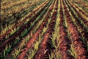 trigo cultivo surcos