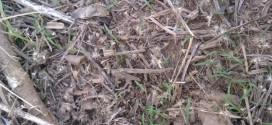 Control de Gomphrena perennis y Pappophorum caespitosum