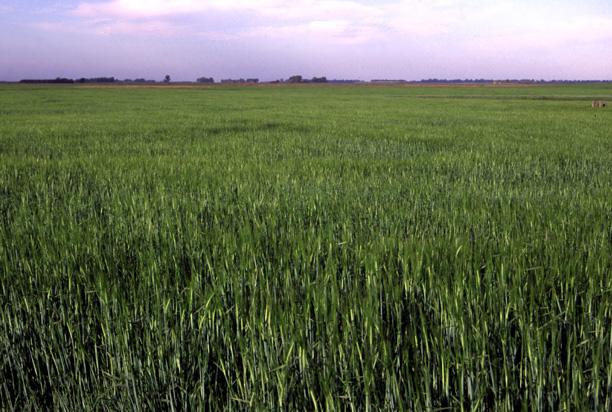 Evaluación de cultivares comerciales de avena y cebada forrajera para producción de forraje