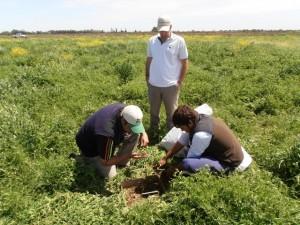 Evaluación de la biomasa generada por el cultivo de cobertura