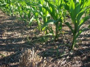 Maiz sobre cultivo de cobertura