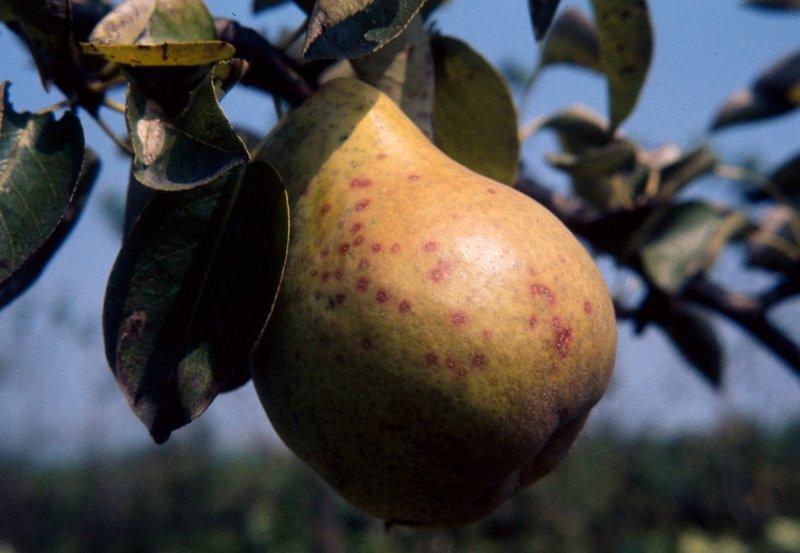 La reaparición del piojo de San José en frutales