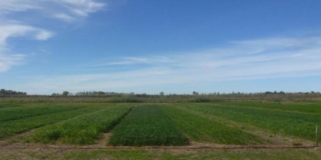 Verdeos invernales: su nuevo rol en los sistemas ganaderos de los valles norpatagónicos