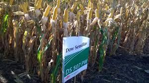 Los nuevos híbridos de maíz de Dow AgroSciences, pisan fuerte en el campo