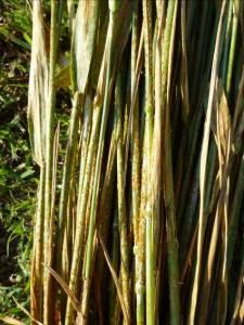 Intensidad de roya negra del tallo en cultivares susceptibles durante ciclo 2014