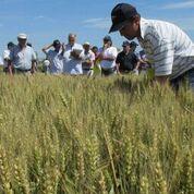 Herrera Vegas revisando trigo