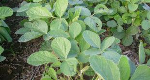 Hoja de planta de soja sin estres.