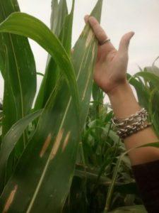Foto 5. Primeras lesiones de tizón foliar en maíces de primera fecha de siembra, en el mes de noviembre de 2016 en Santa Fe. Foto: campo experimental del Centro de Sanidad Sillon & Asoc