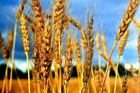 Almacenamiento y acondicionamiento de trigo- Por Ing. Agr. (Ph.D.) Ricardo Bartosik y equipo