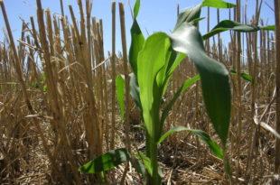Maíz de segunda sembrado sobre rastrojo de trigo