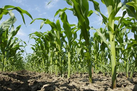 Evaluación de cultivos de servicios en maíces de baja densidad