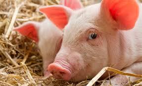 La BCR lanza ROSPORC, la primera plataforma digital de negociación de ganado porcino