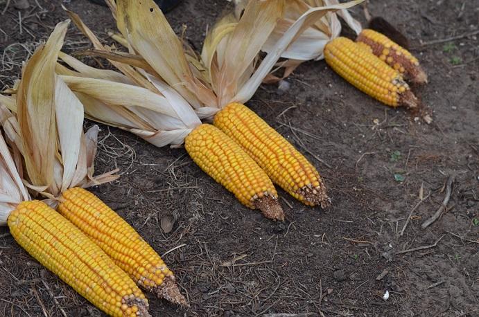 Estrategias de fertilización para la producción de maíz