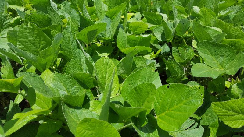 YARA: La aplicación foliar de micronutrientes aporta grandes beneficios a la soja