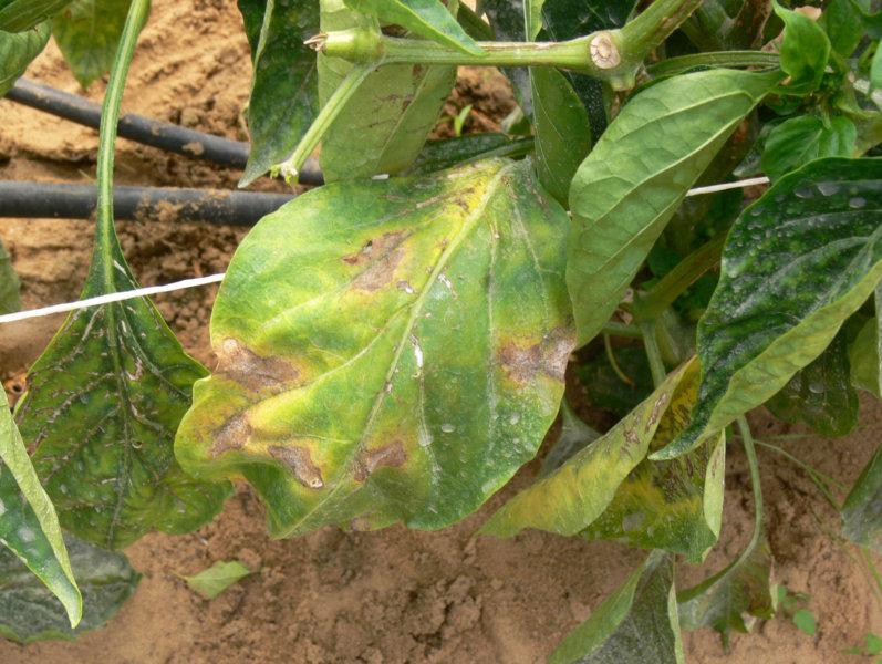 Syngenta: control de enfermedades en tomates y pimientos