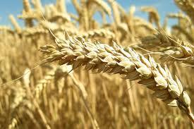 Economía del trigo.   Resultados esperados para la campaña 2019/2020
