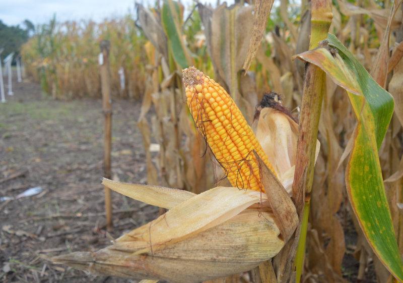 Syngenta: Girasol y maíz para el noreste Argentino