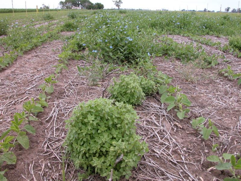 Por qué se multiplican los casos de resistencia a herbicidas