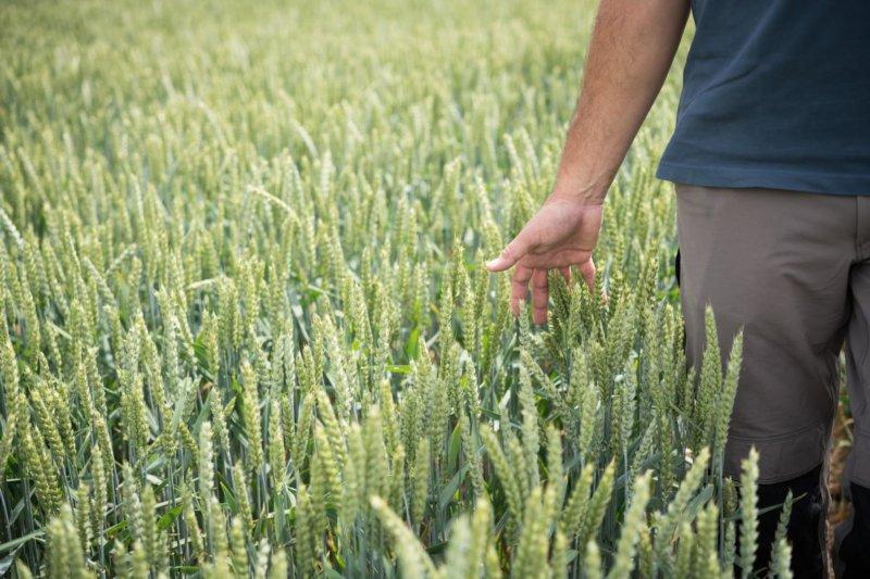 Resistencia de la Mancha amarilla en trigo
