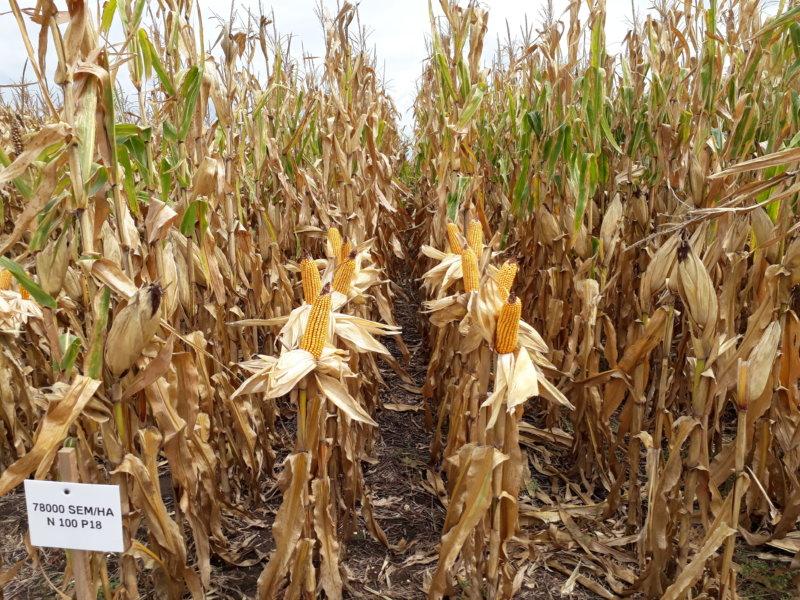 Manejo de la genética, densidad y nutrición en maíz, bajo riego y secano