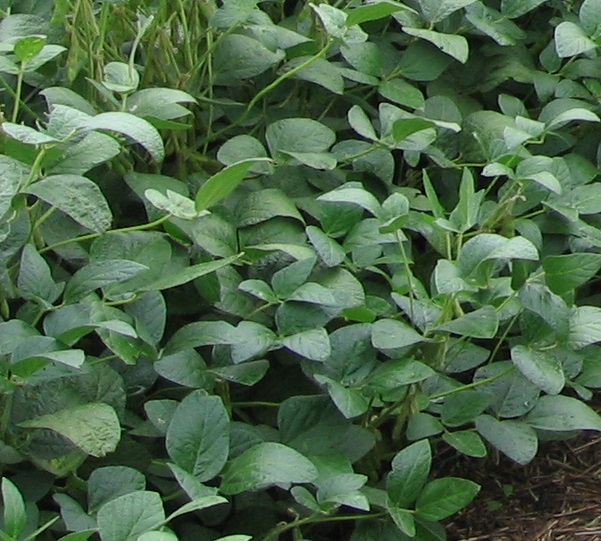 Adversidades combinadas en el cultivo de Soja