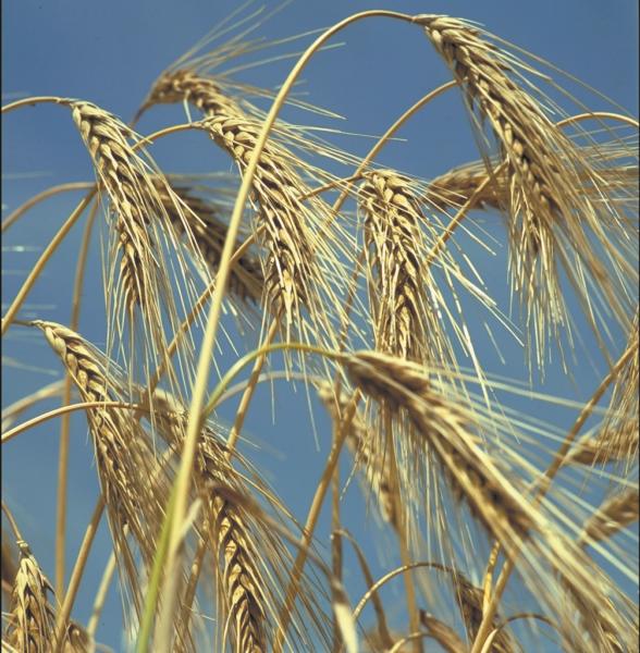 La importancia del tratamiento de semillas en los cereales de invierno