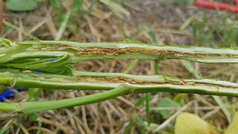 Detectan nueva plaga de la soja