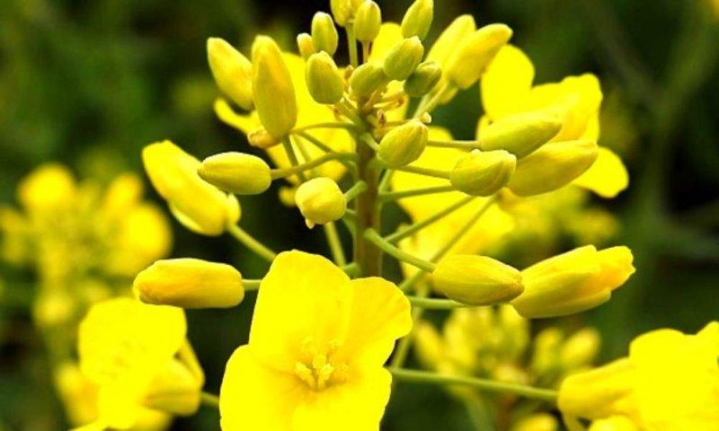 Brassica Carinata, la energía del campo