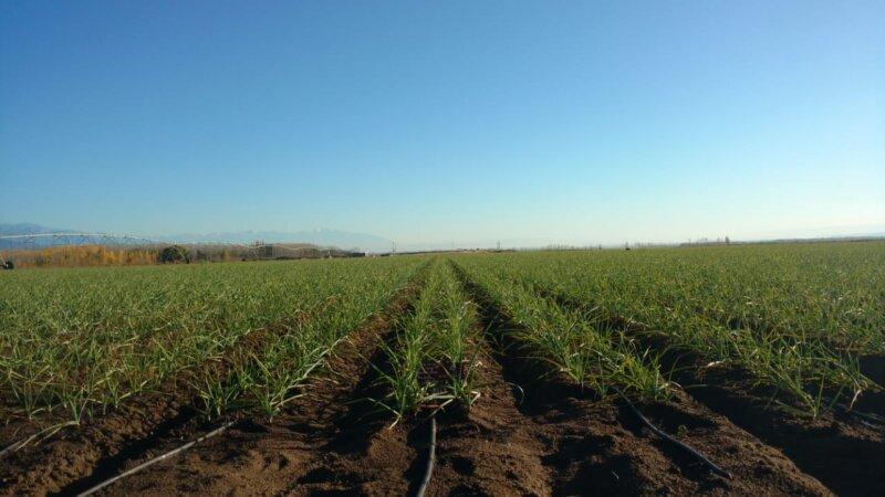 Las claves del cultivo de ajo, hoy