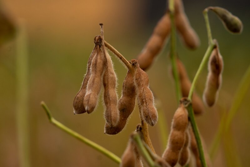 NK presentó nuevas variedades de soja