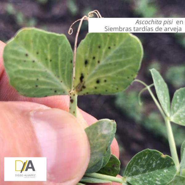 Manejo de adversidades fitosanitarias de los cultivos invernales en el Norte de Buenos Aires
