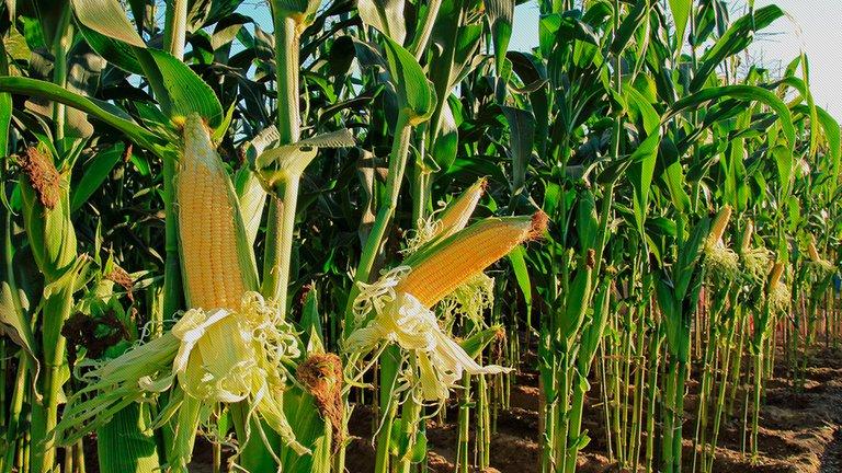 El maíz tardío y la fertilización