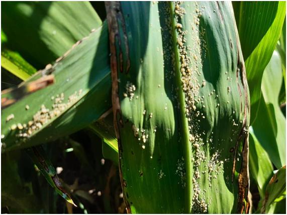 Se detecta Pulgón de caña de azúcar en Sorgo