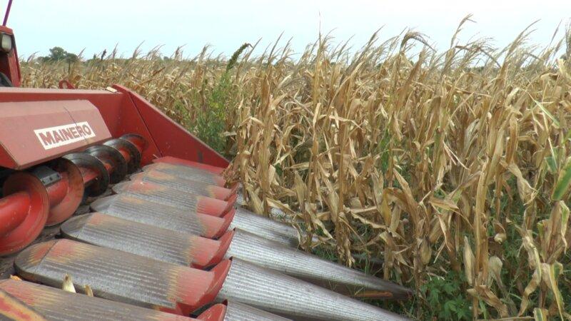 Cosecha de maíz: con el foco puesto en el cabezal