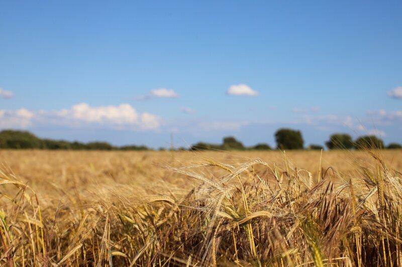 Evaluación de cultivares de trigo para producción de forraje